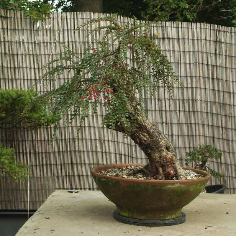 Stump it up, or what to look for in Urban Yamadori. Catoni13