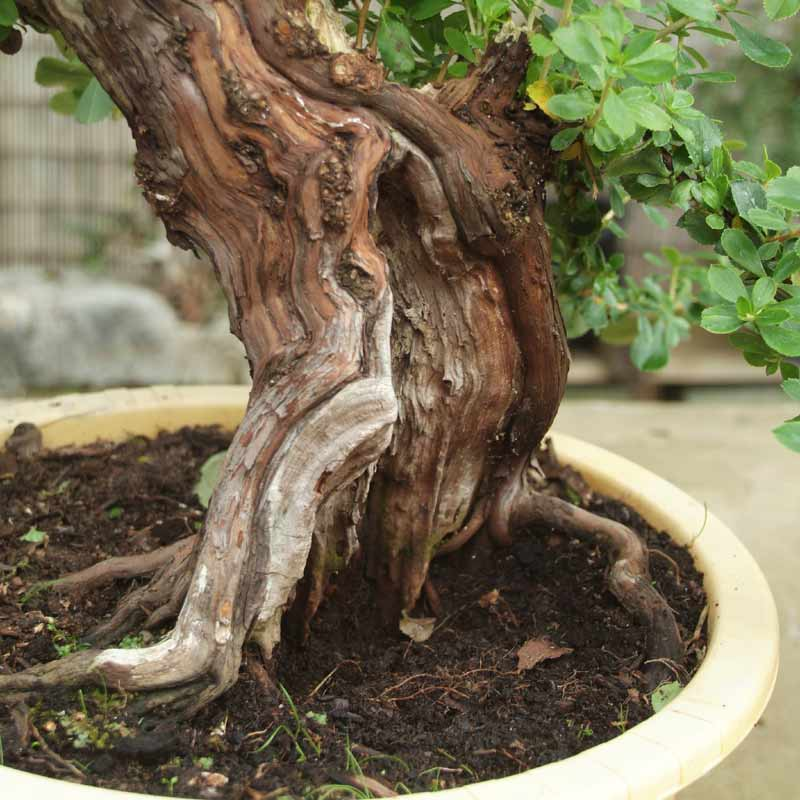 Stump it up, or what to look for in Urban Yamadori. Escall11