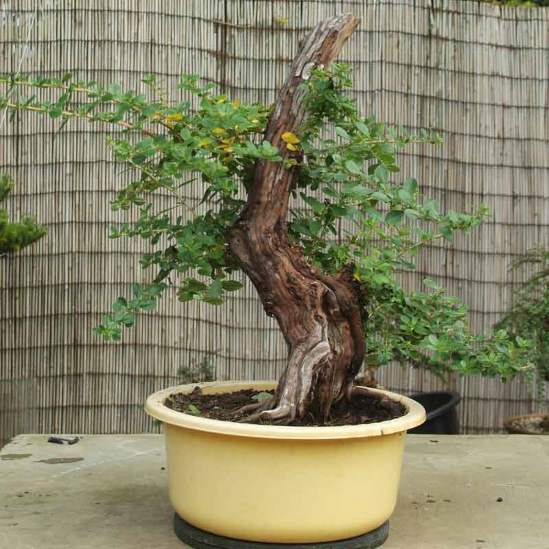 Stump it up, or what to look for in Urban Yamadori. Escall12