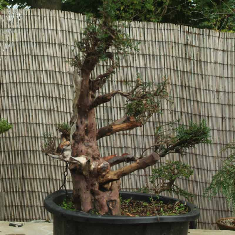 Stump it up, or what to look for in Urban Yamadori. Yew-110