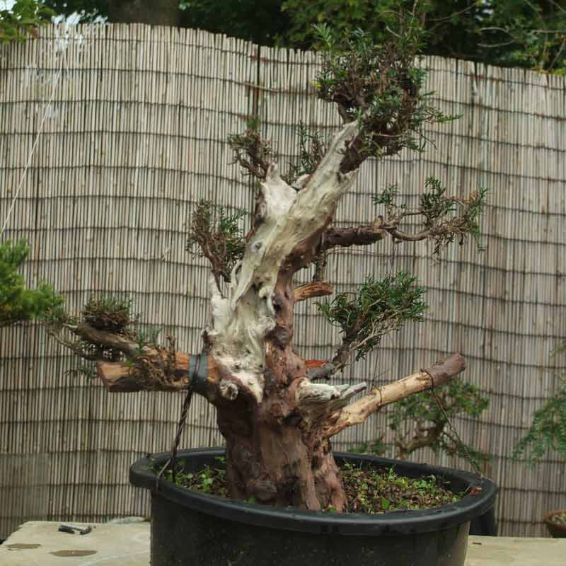 Stump it up, or what to look for in Urban Yamadori. Yew-210