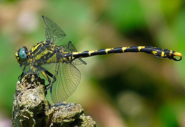 Onychogomphus uncatus..de juillet 2009 Onycho10