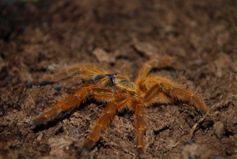 Mygale - Pterinochilus murinus Pterin10
