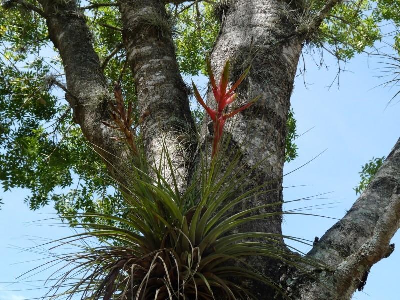 Qu'est-ce une plante epiphyte? P1010214