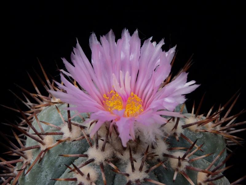Echinocactus horizonthalonius P1160217