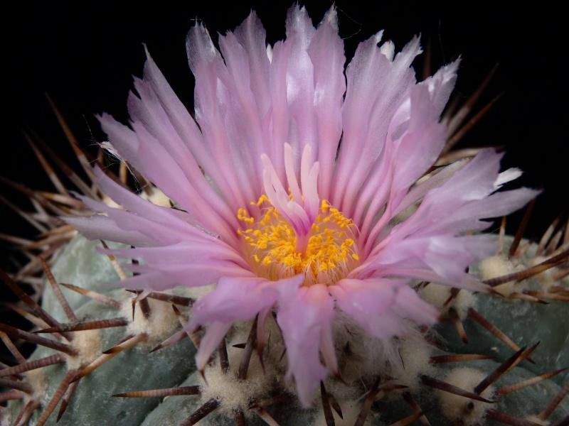 Echinocactus horizonthalonius P1160218