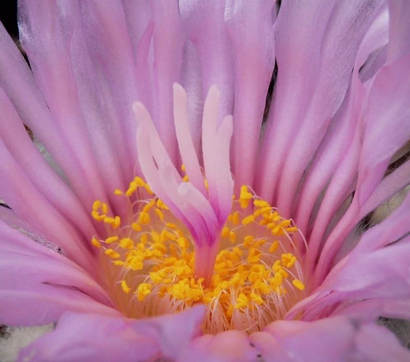 Echinocactus horizonthalonius P1160219