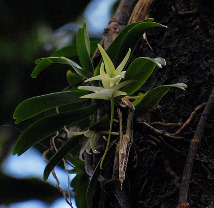 Floraison d'A. liliodorum? P5186610