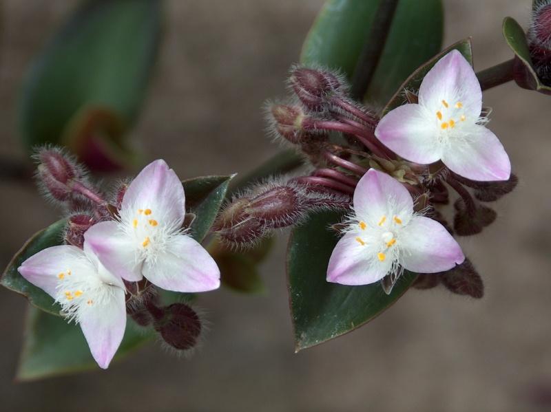 Nom de Commelinaceae 225_0010