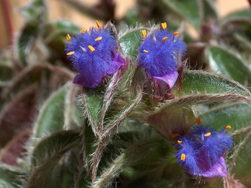 Nom de Commelinaceae 243_0010