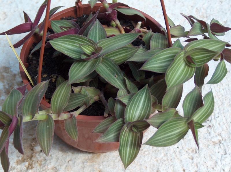 Nom de Commelinaceae 335_0010