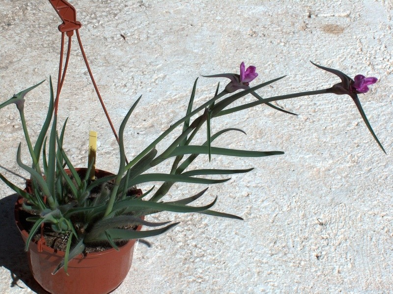 Nom de Commelinaceae 357_0010