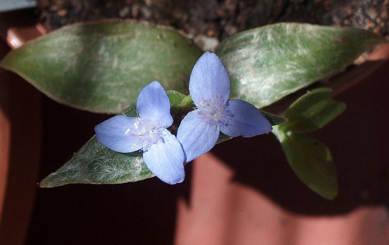 Floraisons de commelinaceae Hpim8310