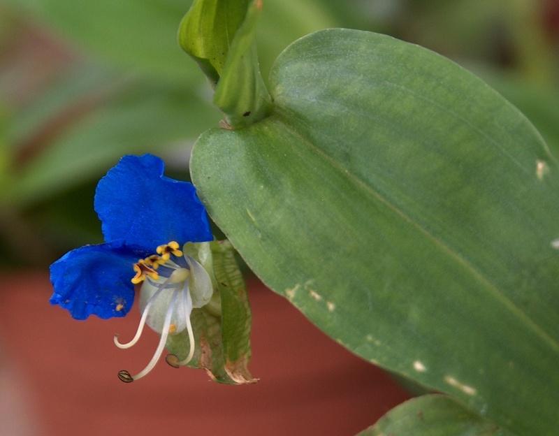 Floraisons de commelinaceae Hpim8410