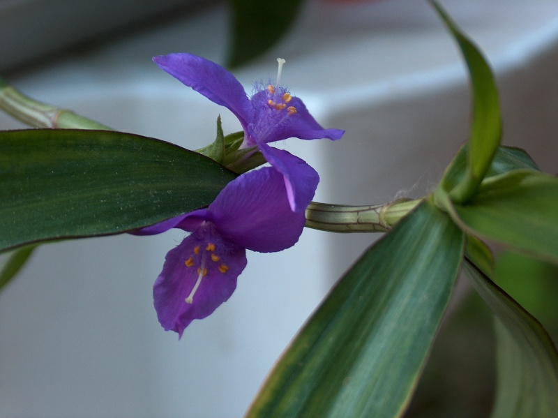 Floraisons de commelinaceae Hpim8411