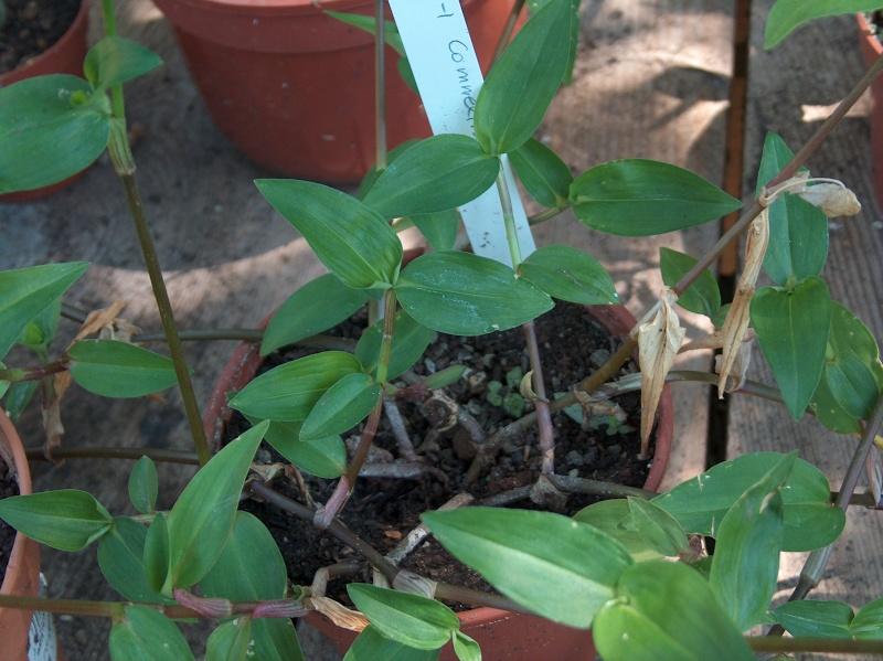 Floraisons de commelinaceae Hpim8510
