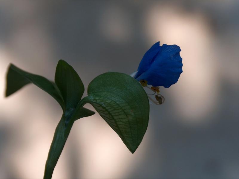 Floraisons de commelinaceae Hpim8511