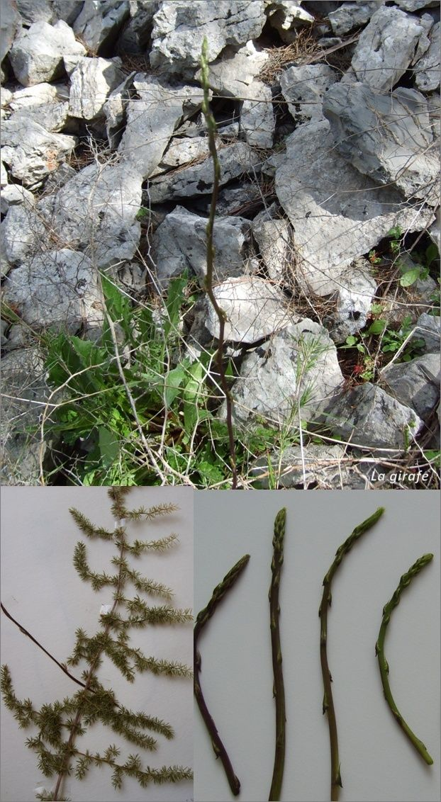 asperges - Asparagus acutifolius - Asperg13