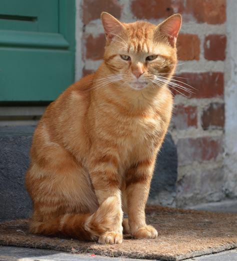 Perdu chat roux sur le Campus de Beaulieu (Mai 2013) Roux10