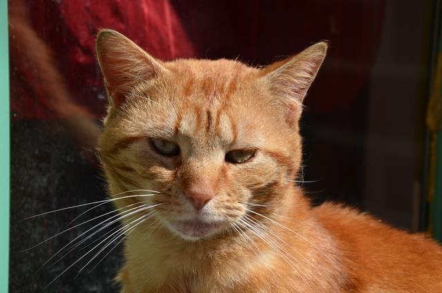 Perdu chat roux sur le Campus de Beaulieu (Mai 2013) - Page 2 Roux_210