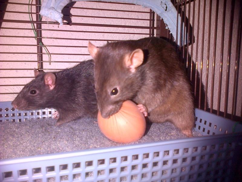 Mes choupinettes rattounettes ! <3 Img-2010