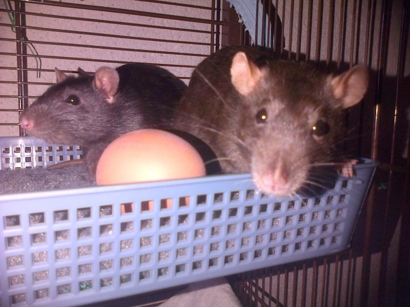 Mes choupinettes rattounettes ! <3 Img-2011