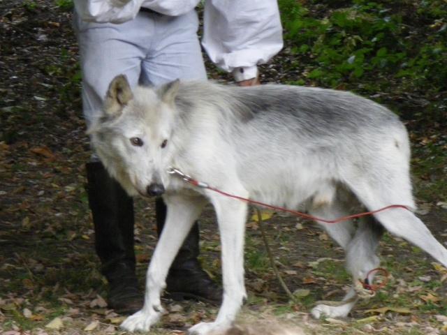 rencontre avec 3 loups Imgp0417