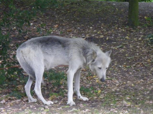 rencontre avec 3 loups Imgp0422