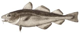Khasiat Minyak Ikan Kod Atlant10