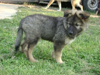 Wolf-Dogs and their Pups Update *12/12* 21810