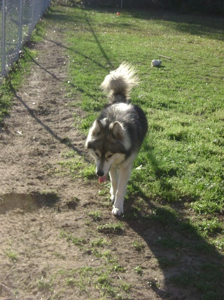 Wolf-Dogs and their Pups Update *12/12* Pictur13