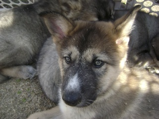 Wolf-Dogs and their Pups Update *12/12* Pictur15