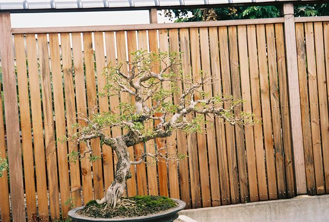 Other Bonsai from Mr. Cheng Cheng Kung Boug_c10