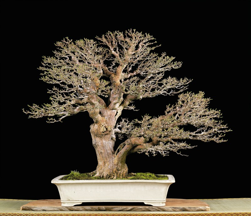 Tenth Asia Pacific Bonsai and Suiseki Exhibition Bougy10