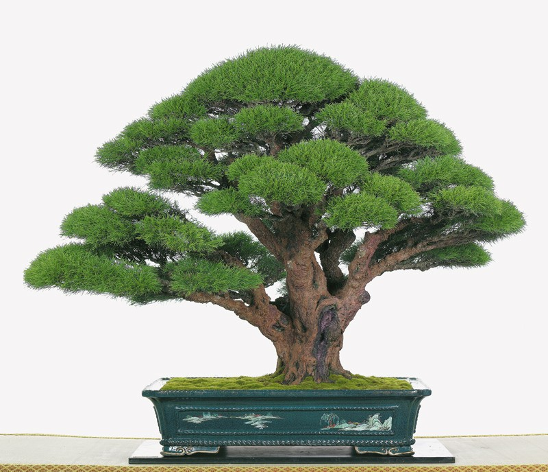 Tenth Asia Pacific Bonsai and Suiseki Exhibition Casuar10