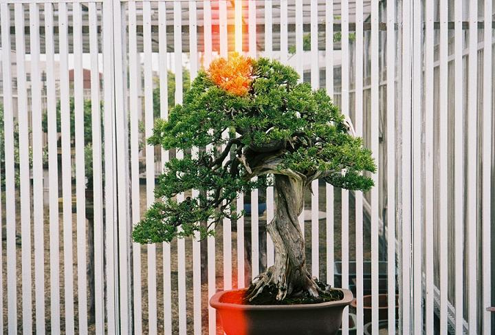 Other Bonsai from Mr. Cheng Cheng Kung Cck_ju10