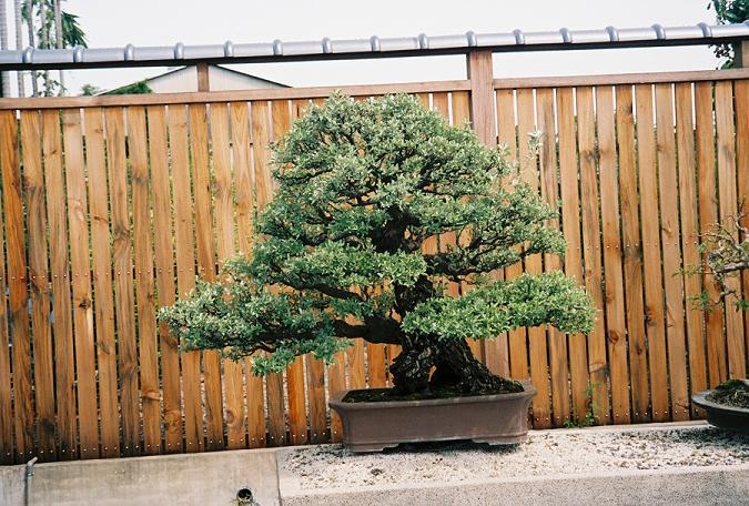 Other Bonsai from Mr. Cheng Cheng Kung Gumi_c10