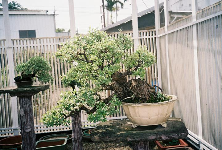 Other Bonsai from Mr. Cheng Cheng Kung Gumi_i10