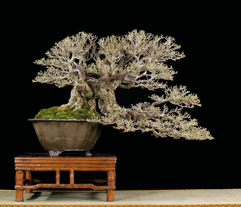 Tenth Asia Pacific Bonsai and Suiseki Exhibition Hibisc11