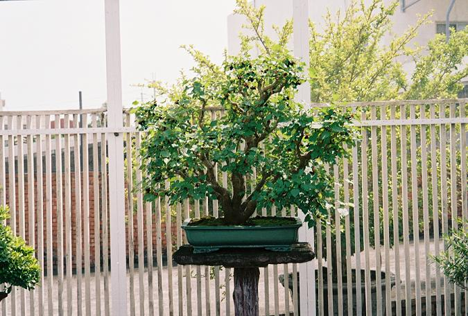 Other Bonsai from Mr. Cheng Cheng Kung Mulber10