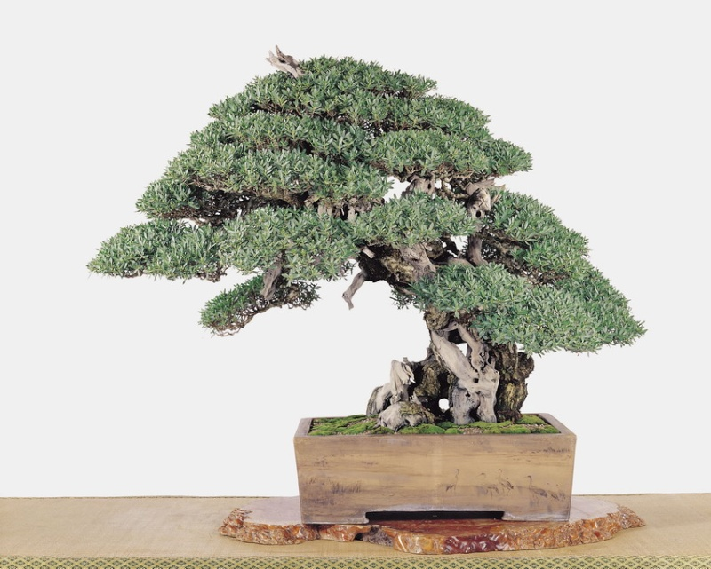 Tenth Asia Pacific Bonsai and Suiseki Exhibition - Page 2 P2610