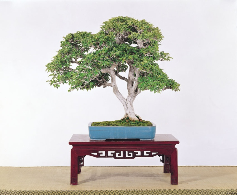 Tenth Asia Pacific Bonsai and Suiseki Exhibition - Page 2 P6510