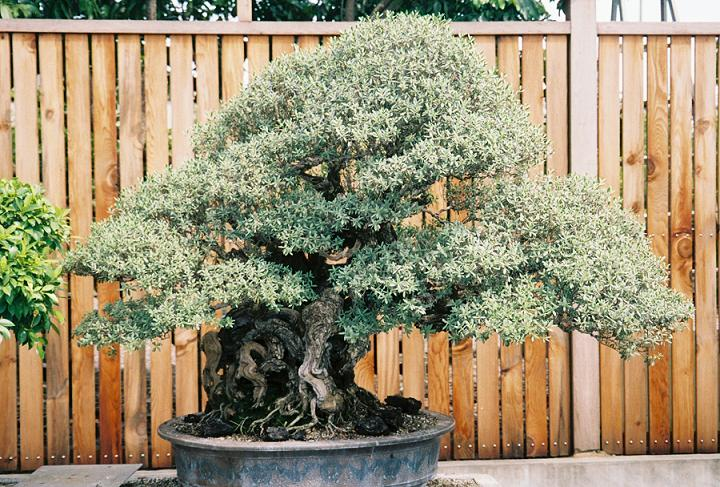 Other Bonsai from Mr. Cheng Cheng Kung Pemphi10