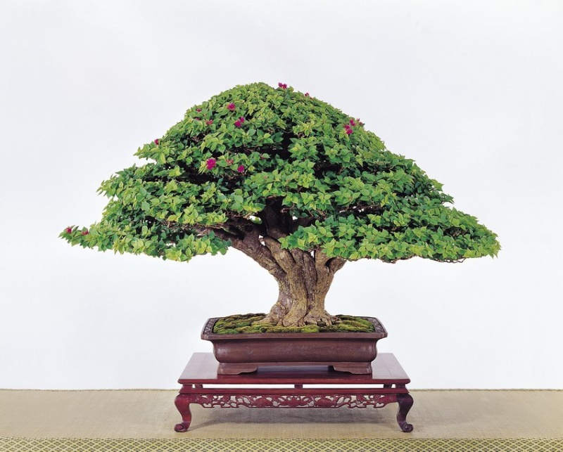 Tenth Asia Pacific Bonsai and Suiseki Exhibition Pixie10