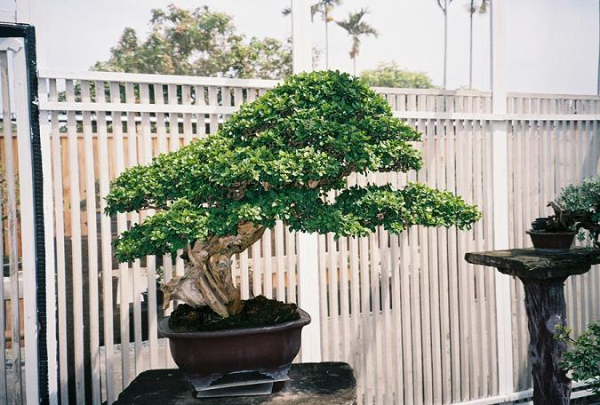 Other Bonsai from Mr. Cheng Cheng Kung Premna10