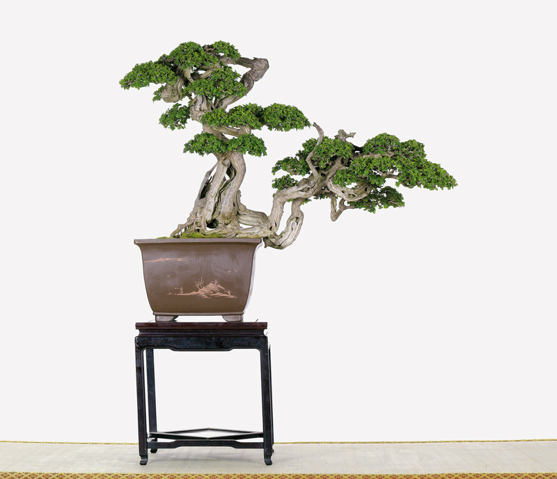 Tenth Asia Pacific Bonsai and Suiseki Exhibition Premna11
