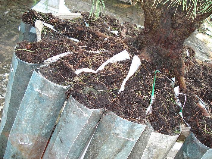 Casuarina Equisetifolia (Cemara Udang or Mu Ma Huang) - Page 2 Root10