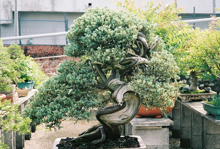 Other Bonsai from Mr. Cheng Cheng Kung Sonare10