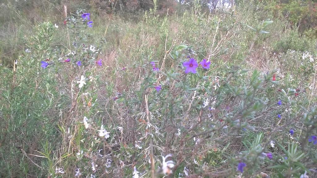 Quelle est cette petite fleur violette au milieu des romarins ? Wp_20443