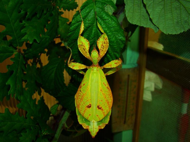 [Phyllium philippinicum (PSG 278)] Photo147